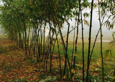 Dragon Head Bamboo